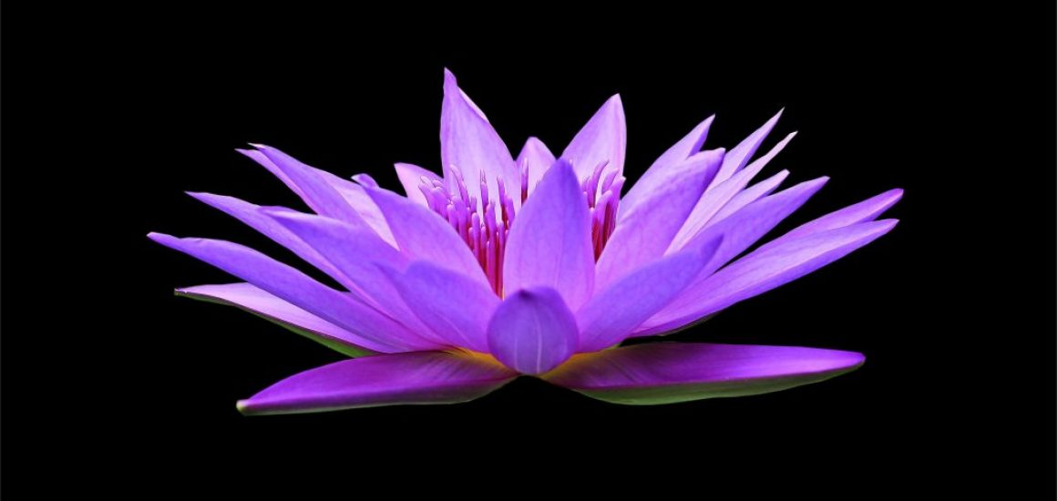 water-lily-1592771